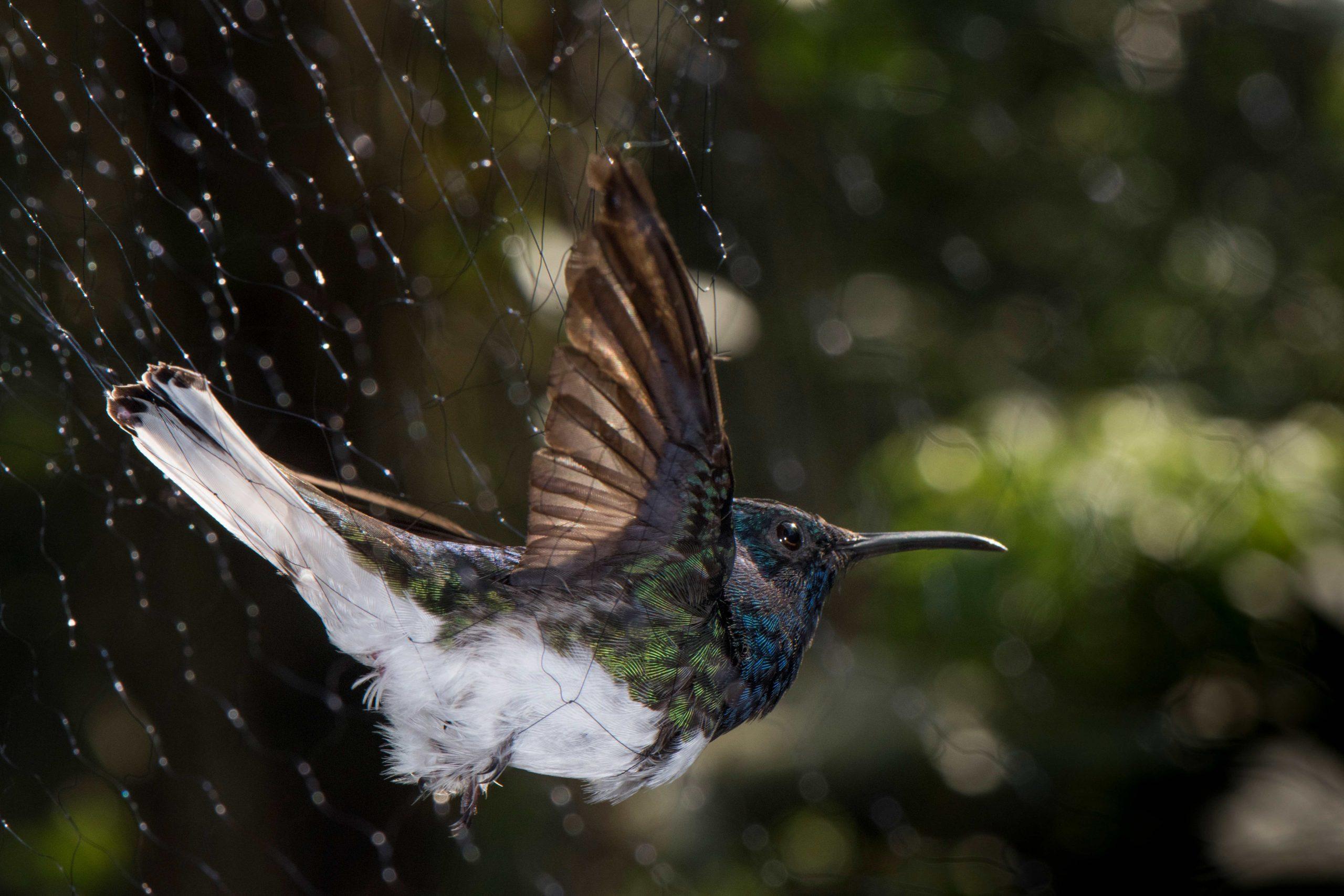 Las hembras de colibríes parecen machos para evitar el acoso - Prensa Libre