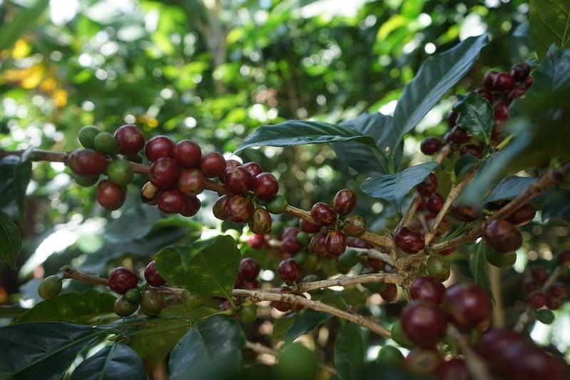 El objetivo del café es de $ 500 millones para el ciclo 2021