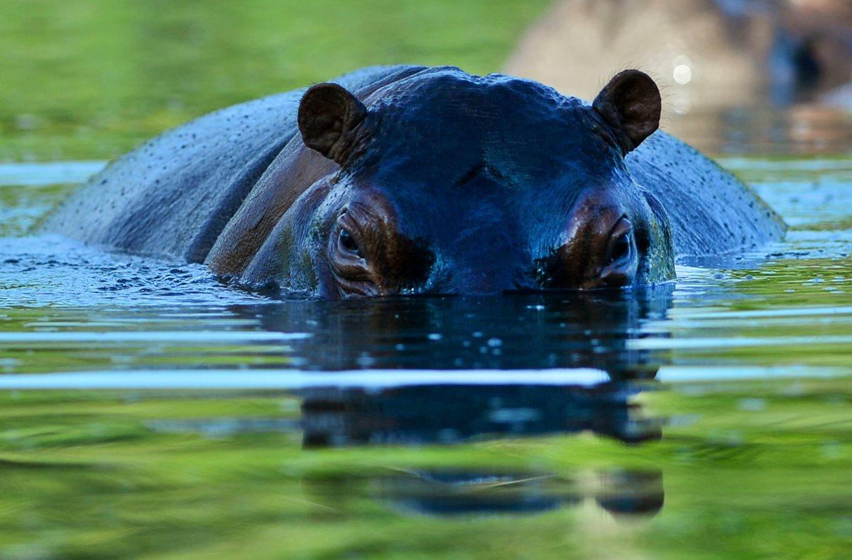 Esterilizan hipopótamos descendientes de los que el narcotraficante colombiano Pablo Escobar llevó a Hacienda Nápoles - Prensa Libre