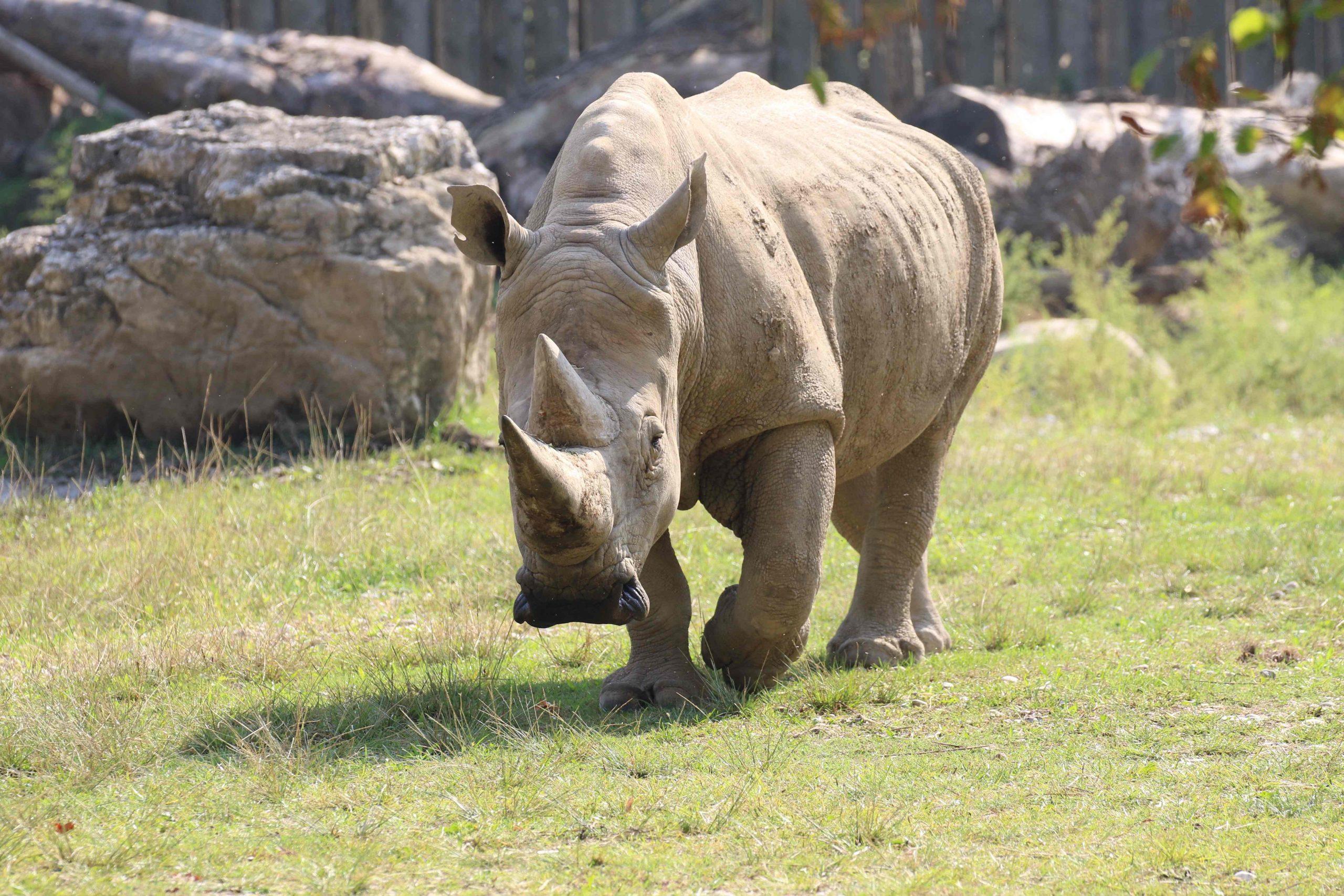 Toby, el rinoceronte blanco más antiguo del mundo, muere;  será embalsamado y exhibido en un museo - Prensa Libre