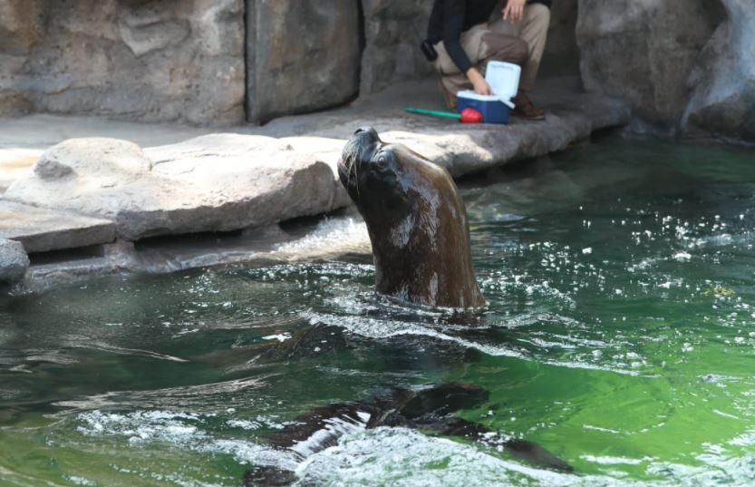 Zoológico la Aurora presenta la pareja de lobos marinos Mitch y Kira - Prensa Libre